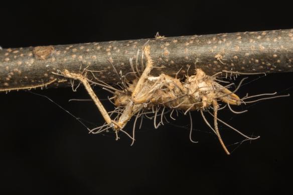 Zombie fungus on cricket
