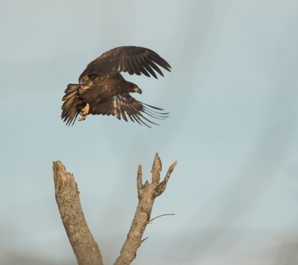 Bald Eagle immature taking off