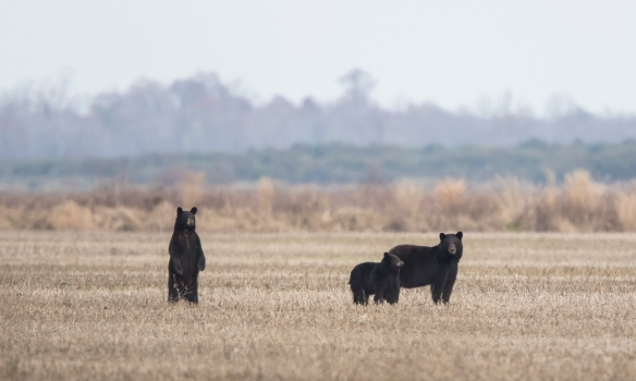 bear family in field