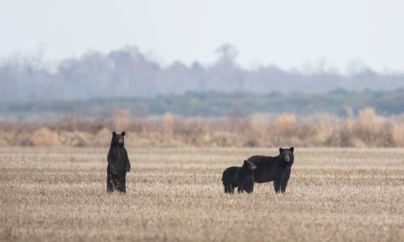 bear family in field