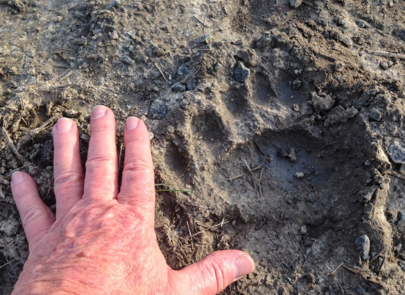 black bear track and hand for scale