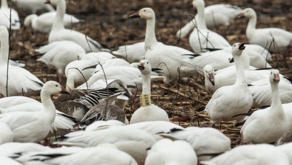 Collared Snow Goose