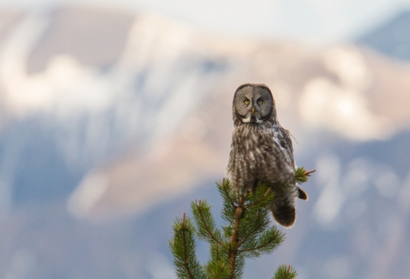 Great Gray Owl in top of pineg