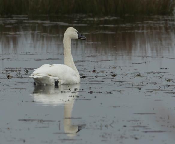 lone tundra swan
