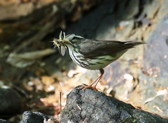 Louisiana Waterthrush dancing