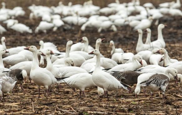 snow geese near car