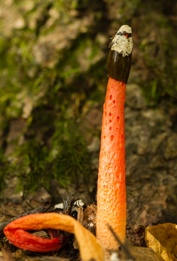 Stinkhorn dog fungus
