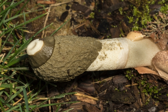 Stinkhorn fungus 1