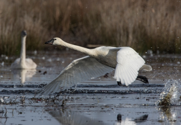 Tundra Swan lift off
