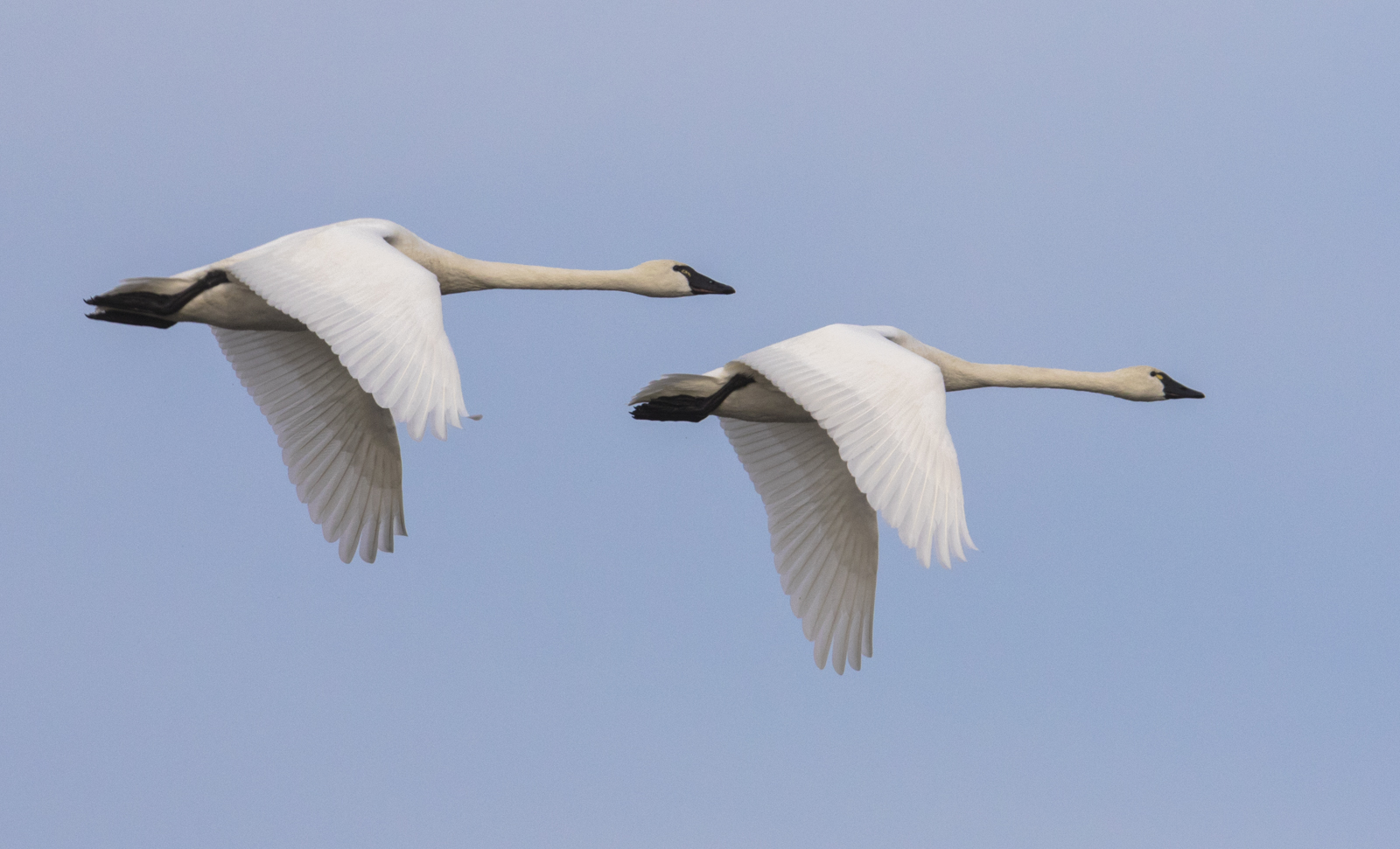 Tundra Swans flying by