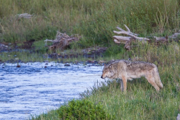 wolf at Soda Butte Creek 1