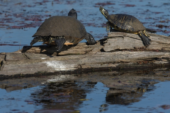 Yellow-bellied Sliders on log
