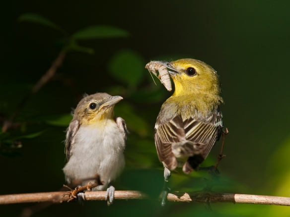 Yellow-throated Vireo and young
