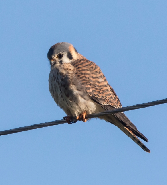 American Kestrel on wire 1
