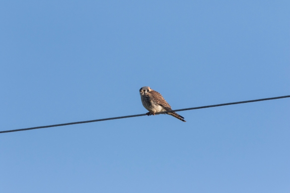 American Kestrel on wire 2