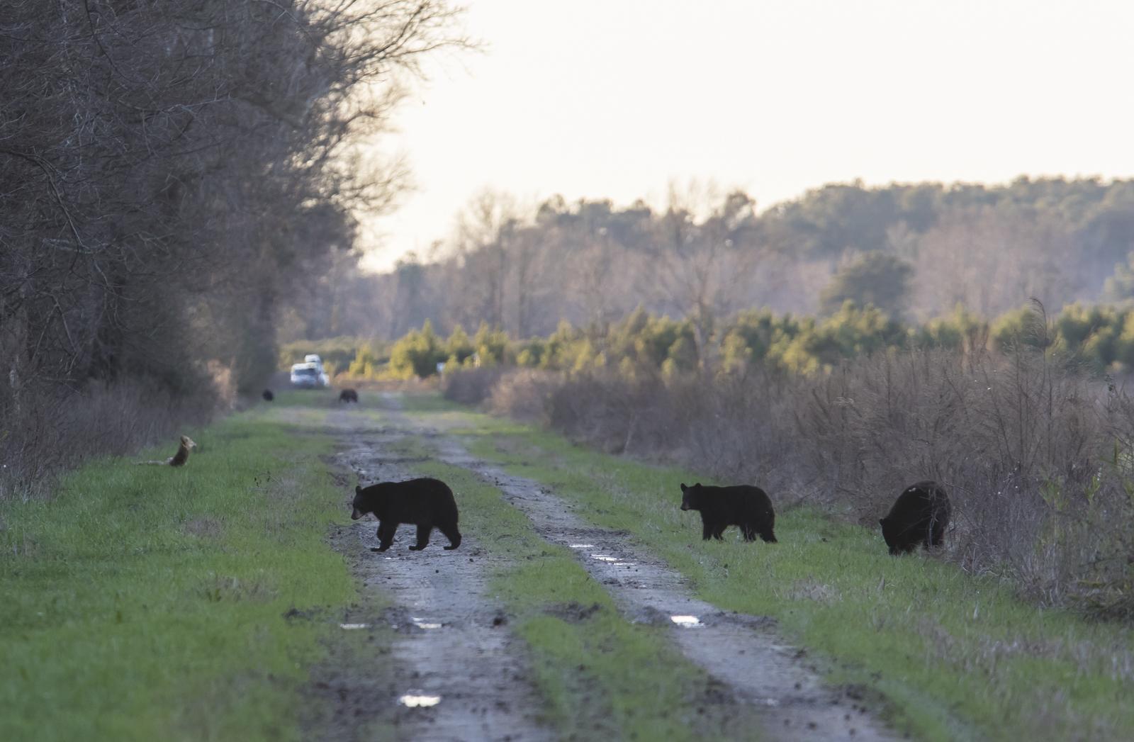 bears in rod
