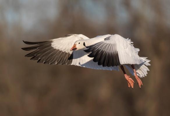 best snow goose landing
