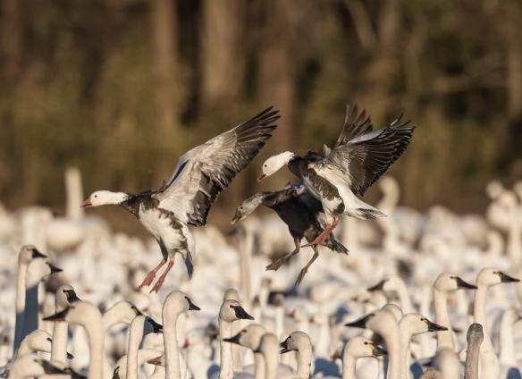 blue geese landing