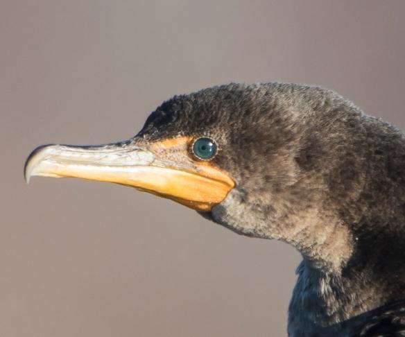 cormorant eye