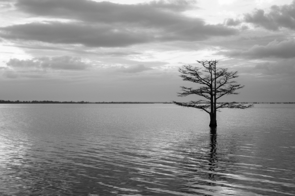 cypress tree in lake mattamuskeet B&W