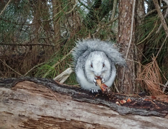 Delmarva Fox Squirrel and pine cone