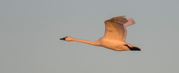 flying swan at sunset