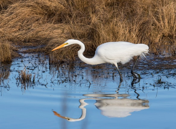 Great Egret along marsh