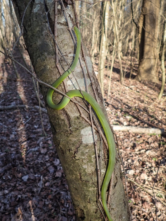 Rough Green Snake on tree trunk