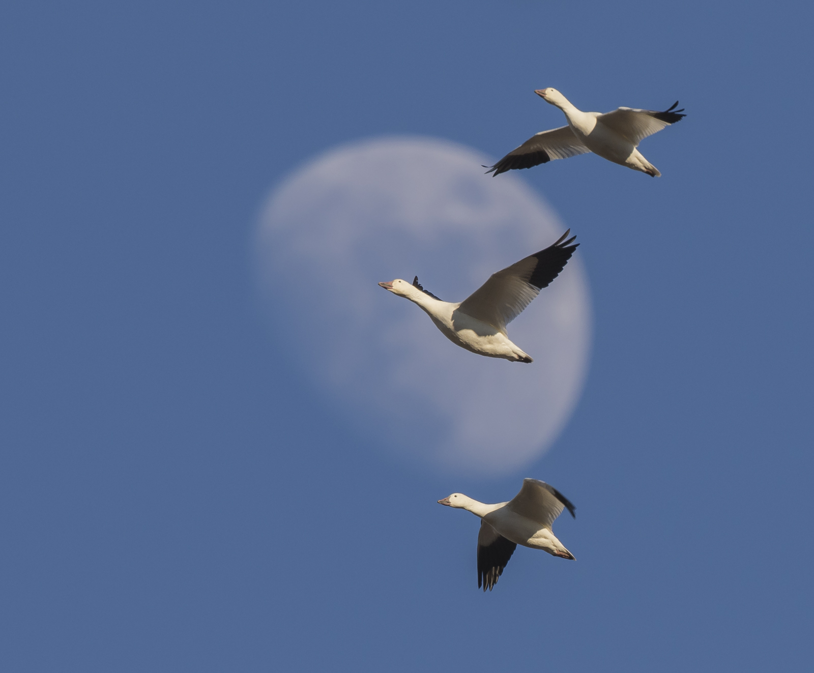 snow geese and moon crop