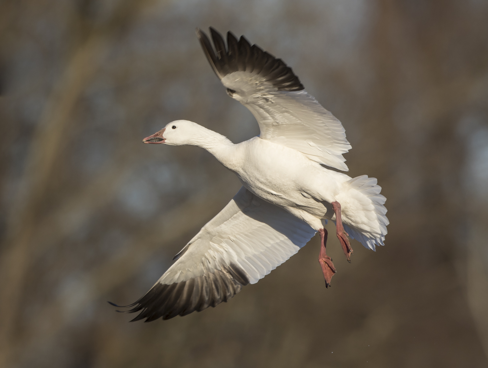 snow geese banking