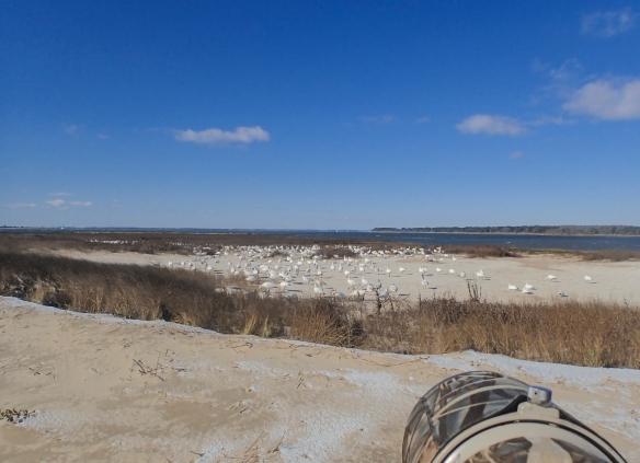 snow geese on sound beach