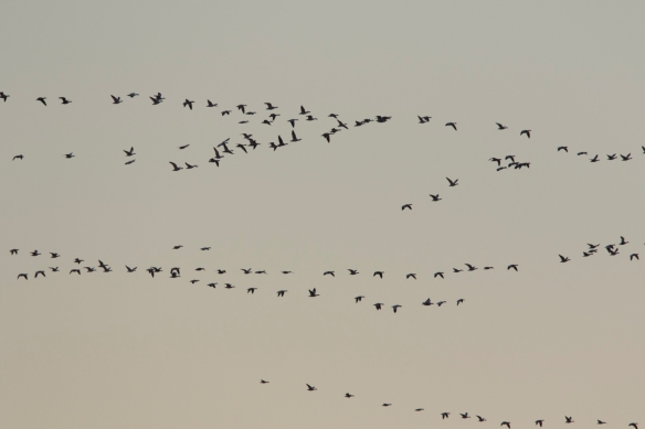 snow geese out at sunrise