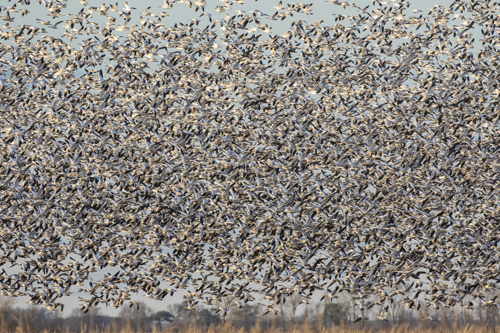 snow geese over field 2