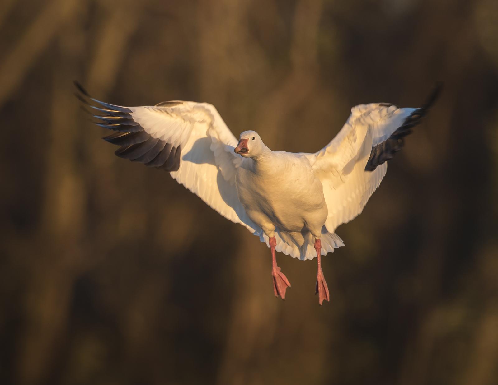 snow goose landing 1