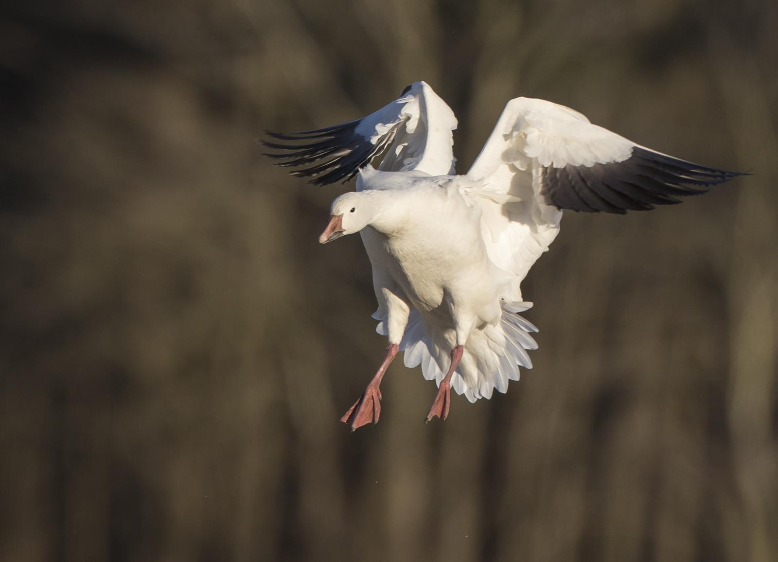 snow goose landing 4