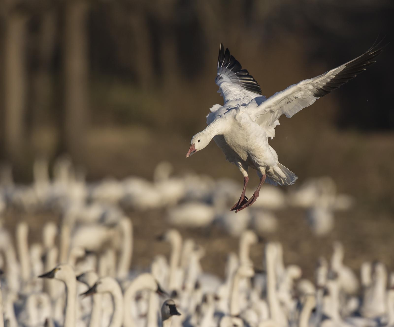 snow goose landing in crowd 2