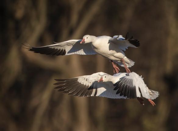 snow goose pair landing