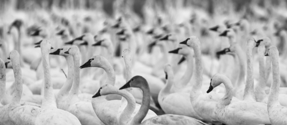 swans in fields b & w