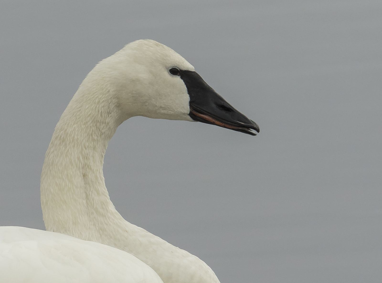 Trumpeter Swan close up