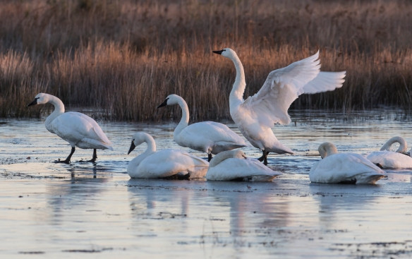 Tundra swans before sunrise 1