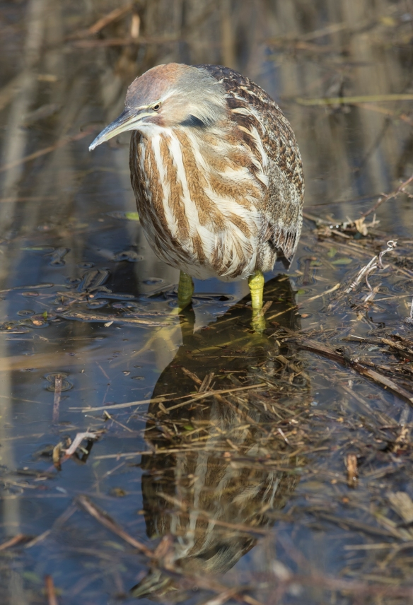 American bittern and reflection
