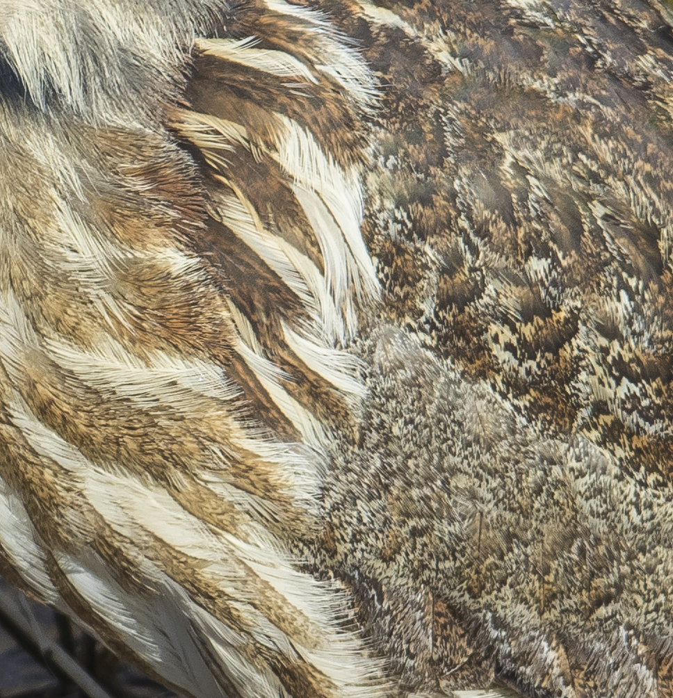 American bittern feathers