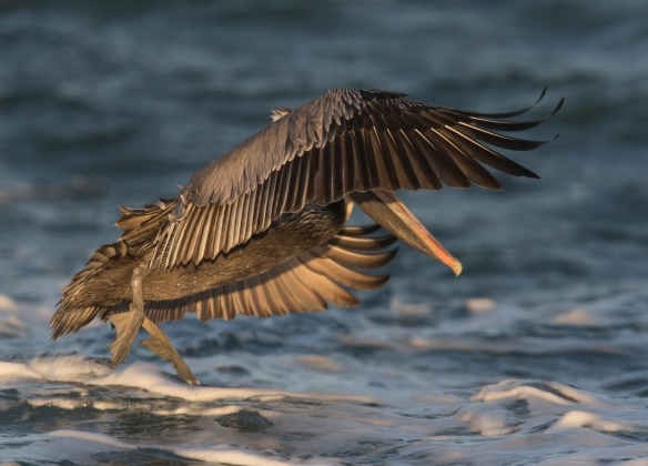 brown pelican adult at sunrise