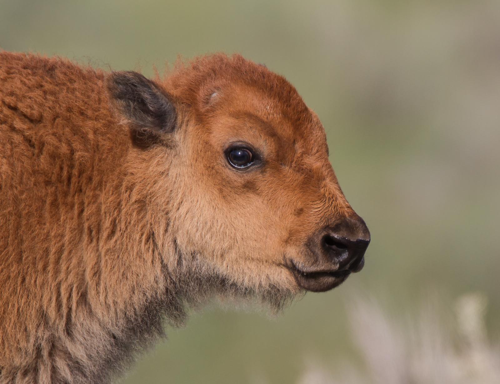 Calf head