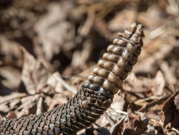 canebrake rattlesnake tail
