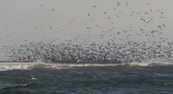 Cormorant flock leaving the roost