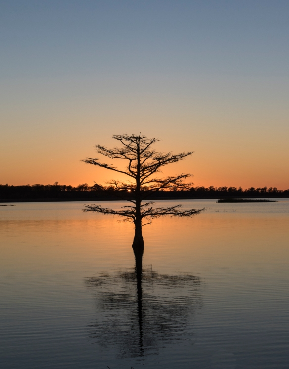 Cypress tree at Lake Mattamuskeet 1