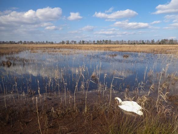 dead swan in marsh