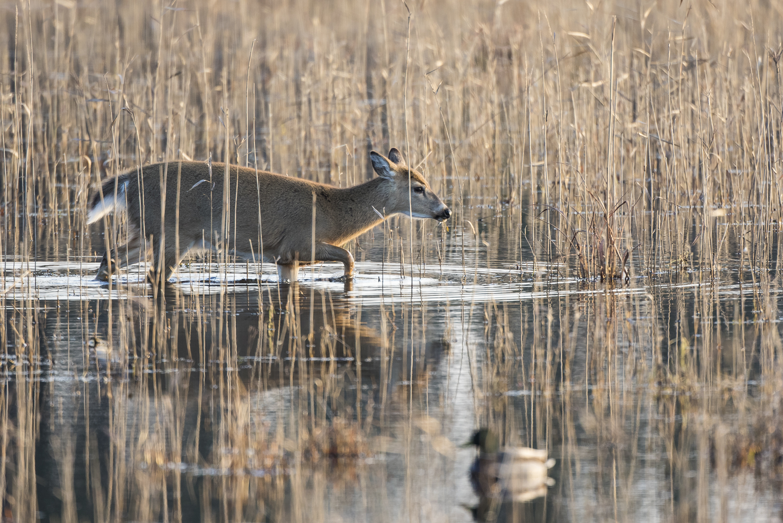 deer in marsh