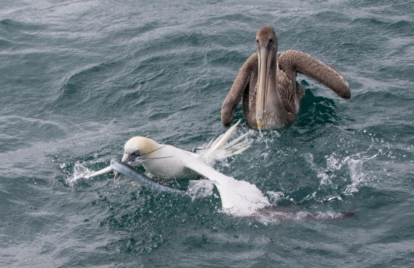 Gannet fight over fish 1
